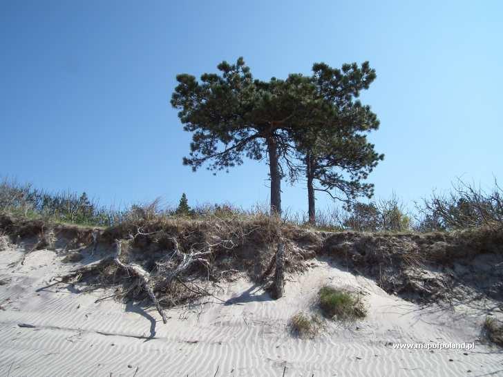 Karłowate sosny na podmywanej wydmie nadbrzeżnej - Wicie